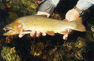 yellowstone park brown trout
