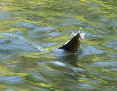 brown trout in six mile water river